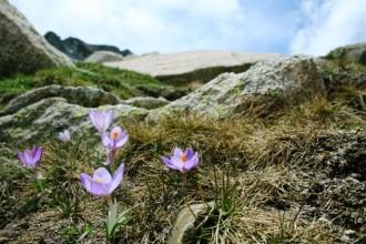 Crocus corsicus - Frankreich, Korsika, Lac de Bastani, 2089m