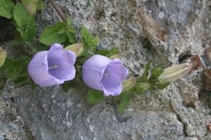 Campanula incurva - Griechenland, Platamon Castle, 100m
