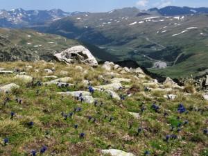 Gentiana alpina - Andorra, Pyrenäen, El Pessons (2)
